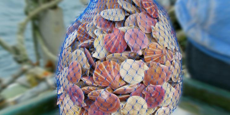 A 20 lb bag of scallops
