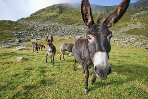 Donkeys in Făgăraș, Romania