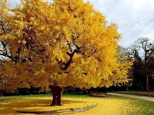 Gingko Biloba: El mágico árbol de la China