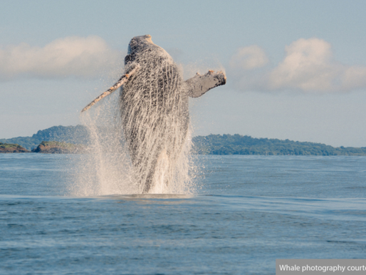 Whale watching in Panama at Islas Secas