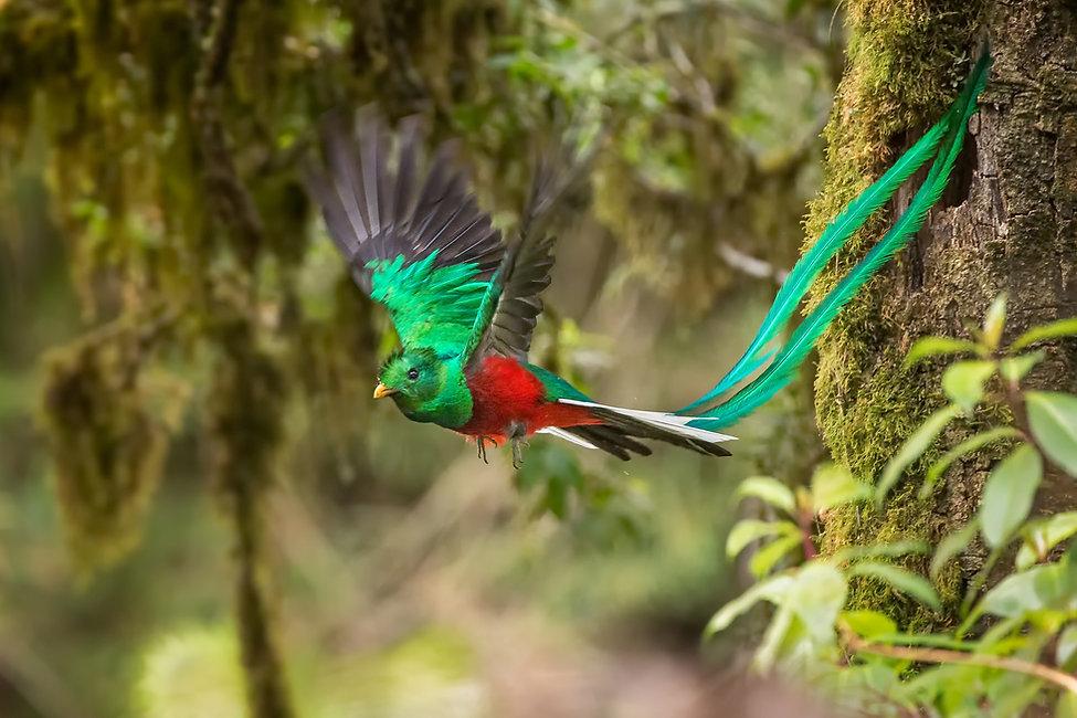 Quetzal Costa rica.jpg
