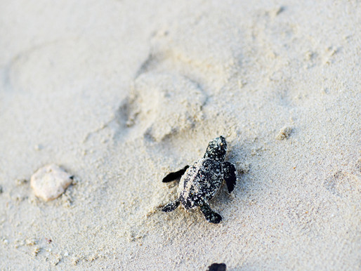 GoldenEye Saving the Sea Turtles