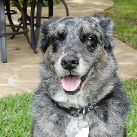 Duke: The Awesome Blue Heeler