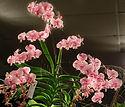 Meilleure_plante_Phalaenopsis.jpg