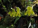 Meilleure_plante_cypripedes.jpg