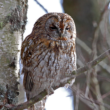 Tawny Owl - 13286.jpg