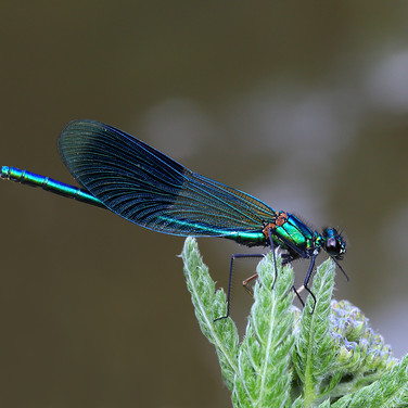 Banded Demoiselle - male - 14858.jpg