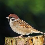 Tree Sparrow - 16826.jpg