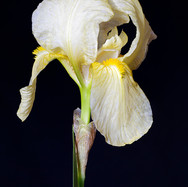 Bearded Iris - pale yellow - PS stacked