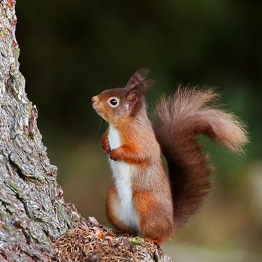 Red Squirrel - 33758.jpg