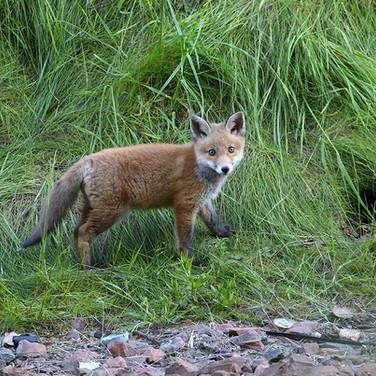 Urban Fox Cub - 28816.jpg
