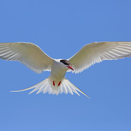 Arctic Tern - 14008.jpg