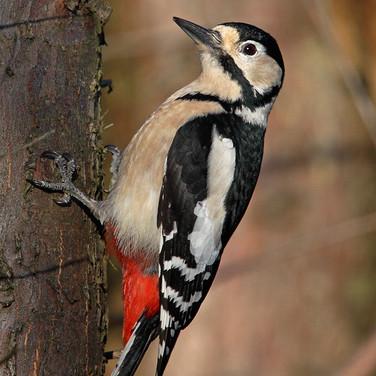 Great Spotted Woodpecker - female - 1844