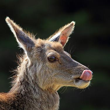 Red Deer Hind - 3558.jpg