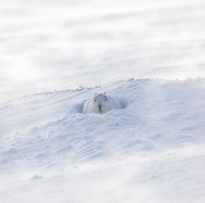 Mountain Hare - 03420.jpg