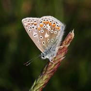 Common Blue - female - 24970.jpg