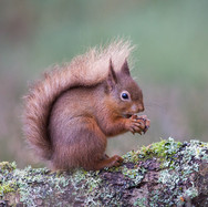 Red Squirrel - 18573 (1 of 1).jpg