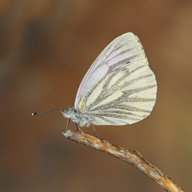 Green-veined White - 16684.jpg