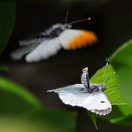 Orange Tip Butterflies mating.jpg