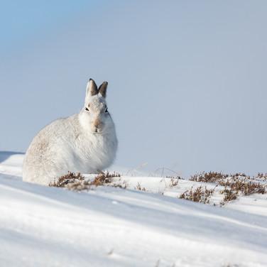 Mountain Hare - 03339.jpg