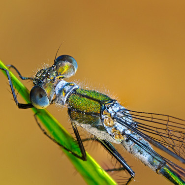 Emerald Damselfly - male - 16663-4.jpg