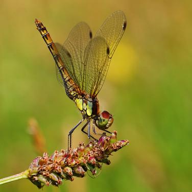 Common Darter - female - 01755.jpg