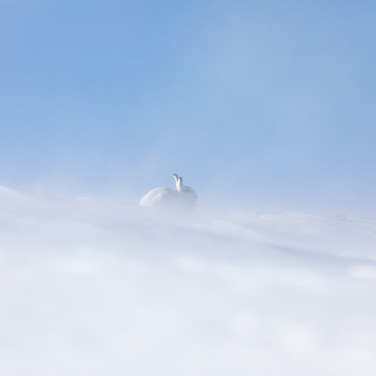Mountain Hare - 03389.jpg