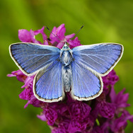 Common Blue - 13916.jpg