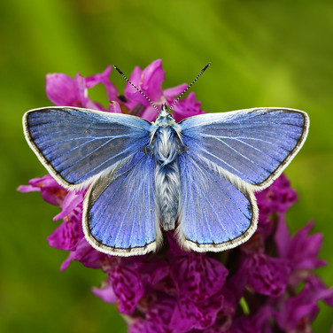 Common Blue - 13916.jpg