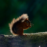 Red Squirrel - 30413.jpg