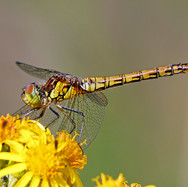 Common Darter Dragonfly - female - 12872