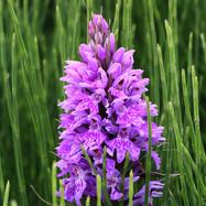 Northern Marsh Orchid - 14735.jpg