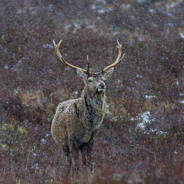Red Deer Stag - 12022.jpg