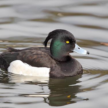 Tufted Duck - male - 11041.jpg
