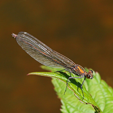 Banded Demoiselle - female - 25473.jpg