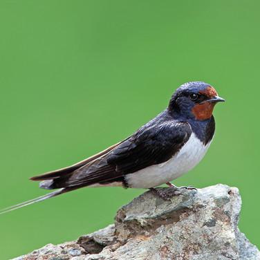 Swallow - 2097.jpg