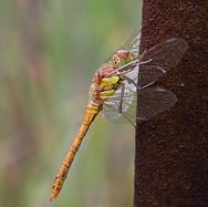 Common Darter - female - 8071.jpg