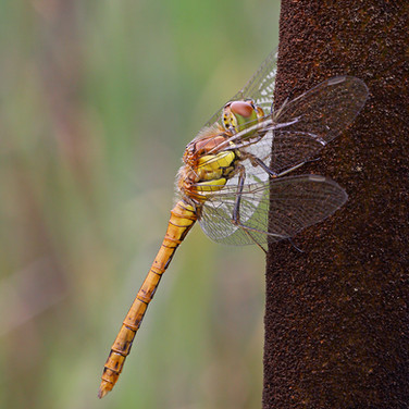 Common Darter - female - 8071.jpg