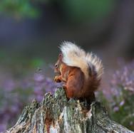 Red Squirrel - 29780.jpg