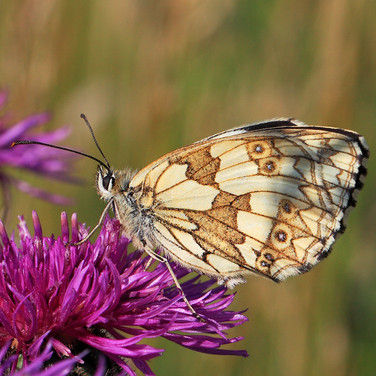 Marbled White - 25678.jpg