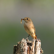 Redstart - female - 006150-JO.jpg