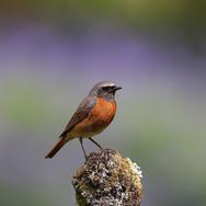 Redstart - male - 006827-JO.jpg