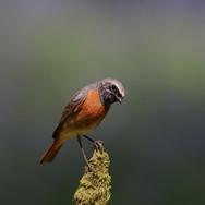Redstart - male - 006923-JO.jpg