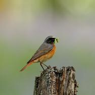 Redstart - male - 005808-JO.jpg