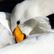 Whooper Swan - WB - 7648.jpg
