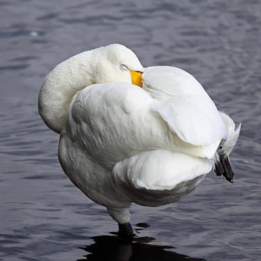 Whooper Swan - 7750.jpg