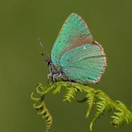 Green Hairstreak - 6271.jpg