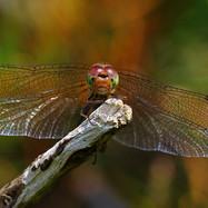 Common Darter - female - 01872.jpg