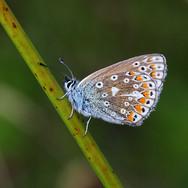 Common Blue Butterfly - female - 13052.j