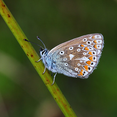 Common Blue Butterfly - female - 13052.j